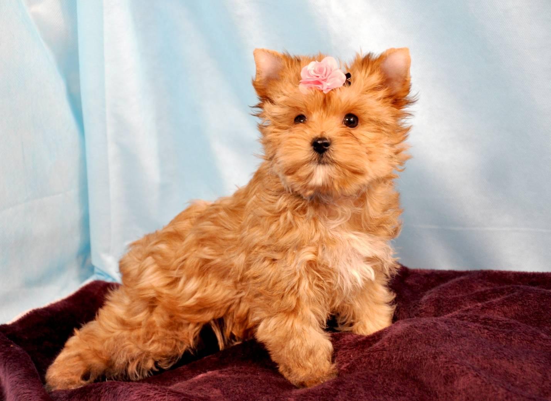 Знакомимся с маленькой русалочкой — русской салонной собакой
