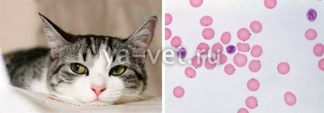 Гемобартонеллез у кошек: причины, симптомы, лечение, профилактика