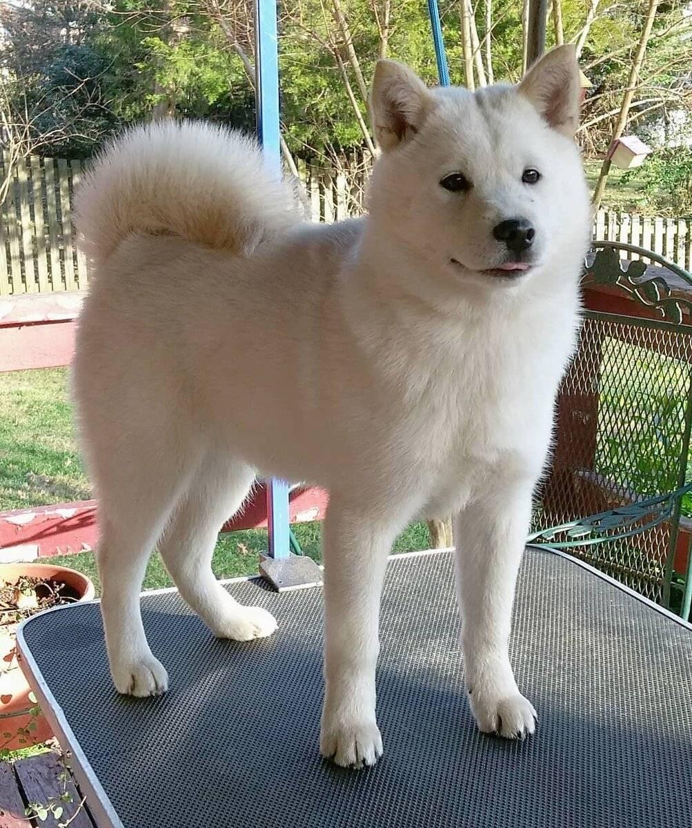 Сикоку — редкая порода собак, выведенная в японии. сикоку ину (коти кэн) описание породы