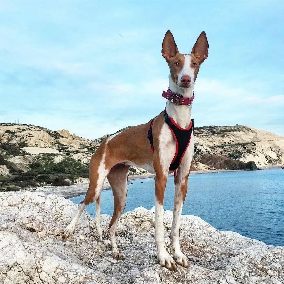 Топ-10 редких пород собак - большой рейтинг