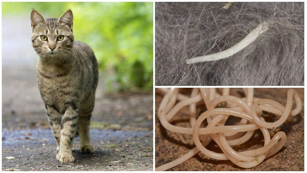Паразитарные заболевания животных (кошек, собак) и их профилактика. лечение кошек и собак от паразитов