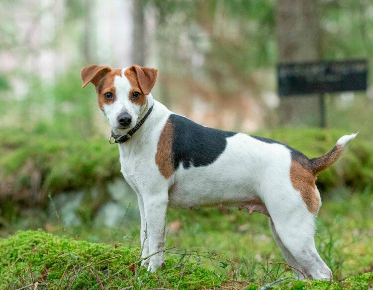 Шведский вальхунд (вестготский шпиц): опсиание породы собак с фото и видео