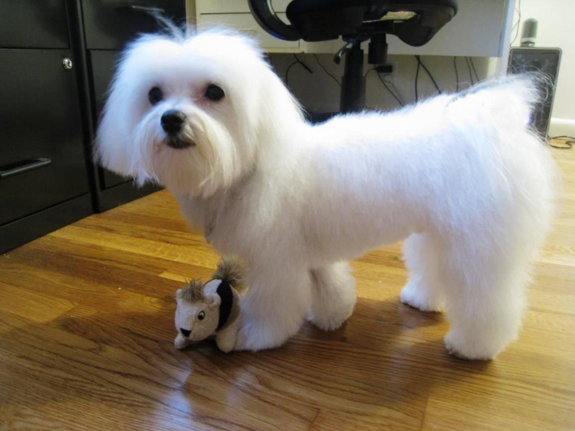 Стрижка болонки (13 фото): как подстричь болонок-девочек в домашних условиях? стрижки для собак-мальчиков