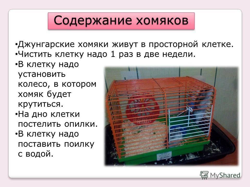 Сколько живет хомяк джунгарик в домашних условиях и в природе?