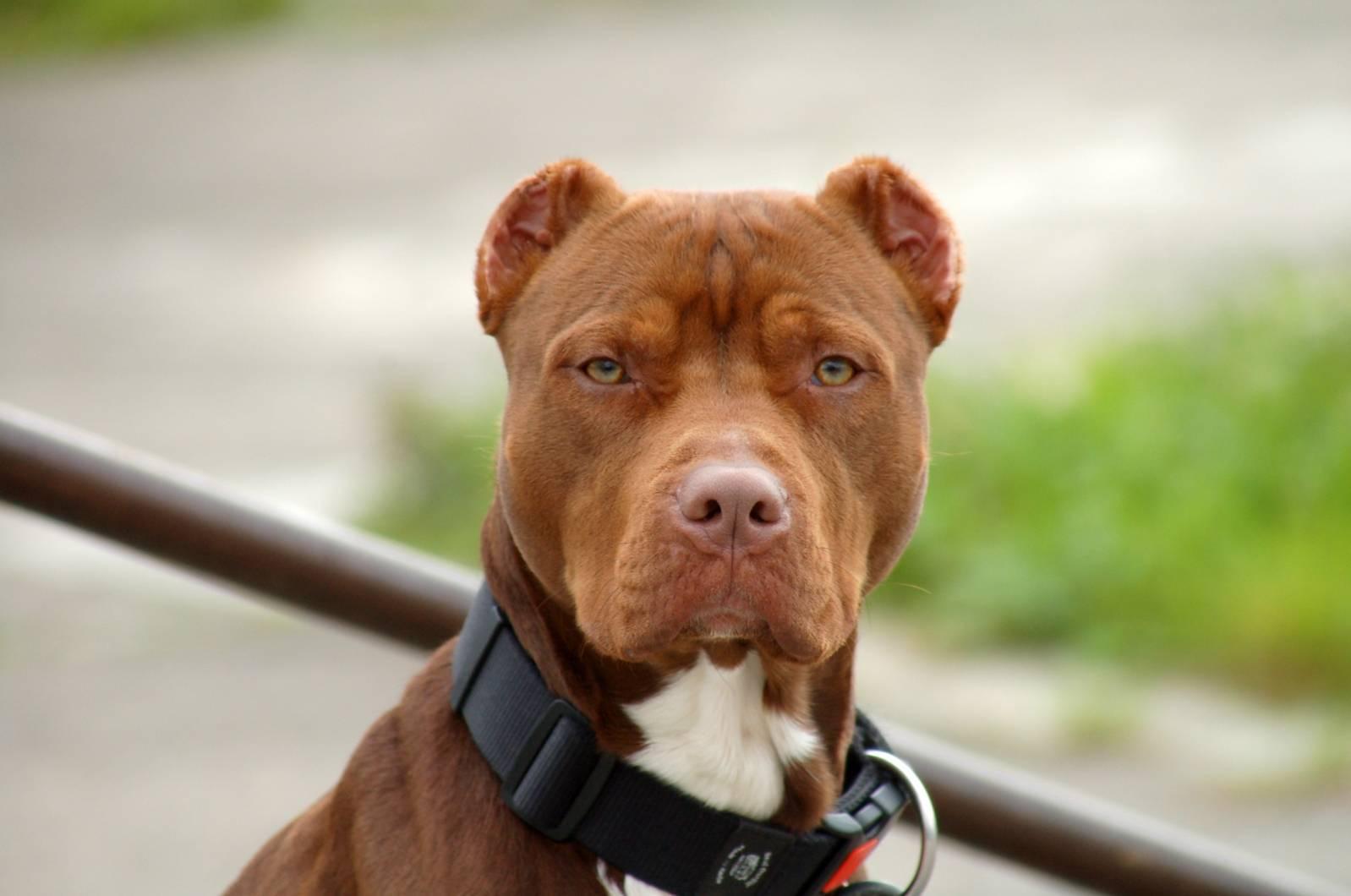 Американский питбультерьер собака. описание, особенности, уход и цена американского питбультерьера | животный мир