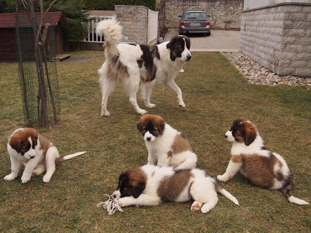 Тибетский спаниель собака. описание, особенности, уход и цена породы   sobakagav.ru