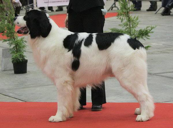 Ландсир: описание породы собак
