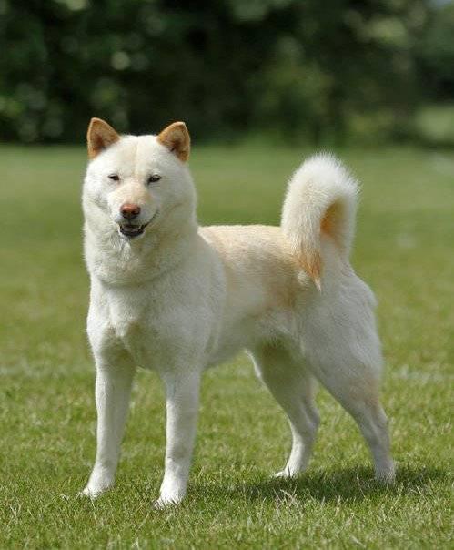Каи (каи-ину, таро, каи-кен, тигровая собака): описание породы с фото и видео