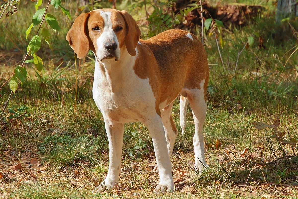Английские породы собак: полный список с фотографиями и названиями