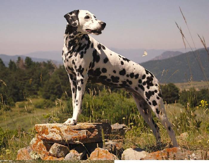 Порода собак далматин (dalmatian): фото, видео, описание породы и характер