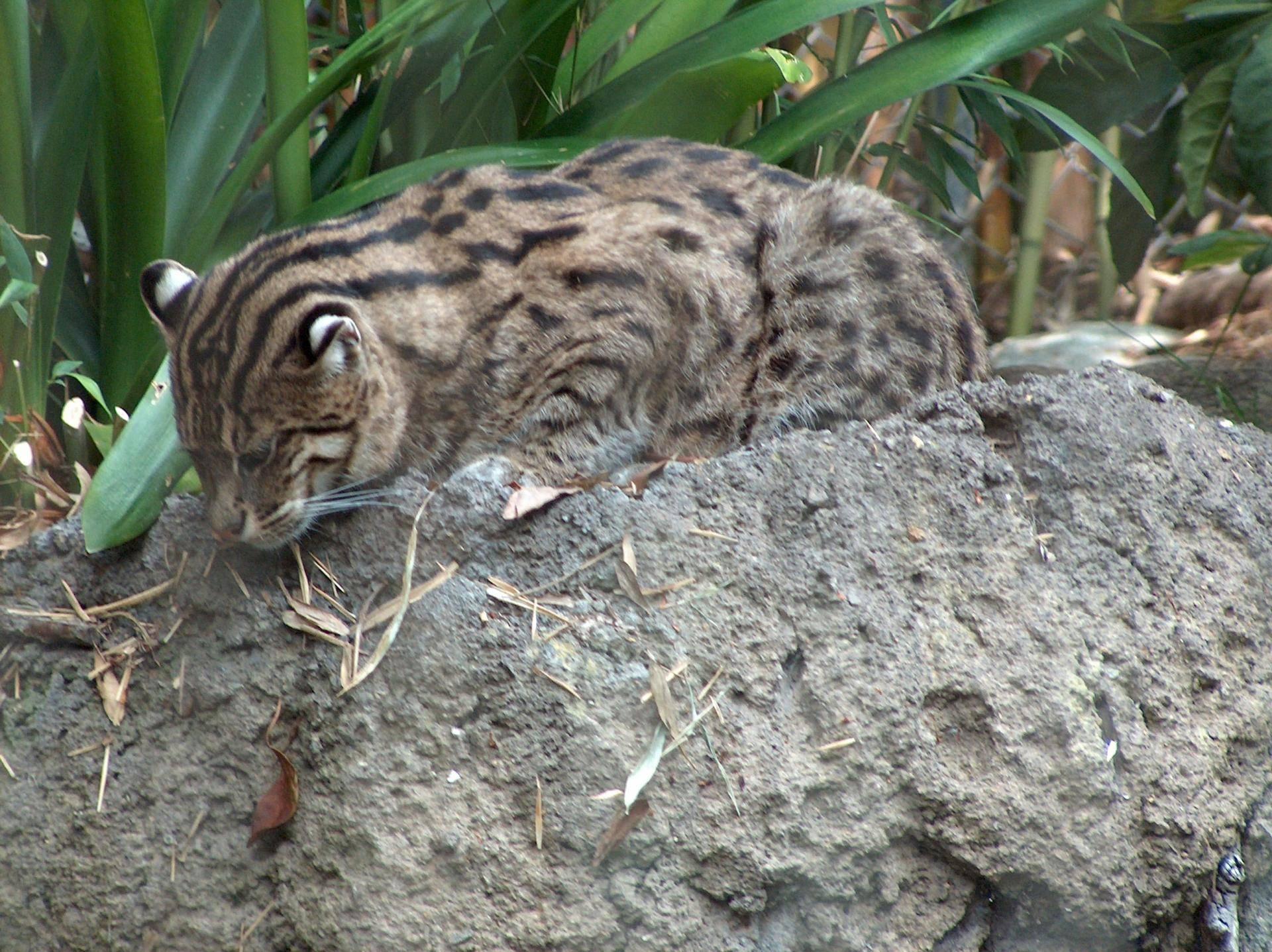 Кот-рыболов – виверровый кот: описание, фото, уход, характер, цена