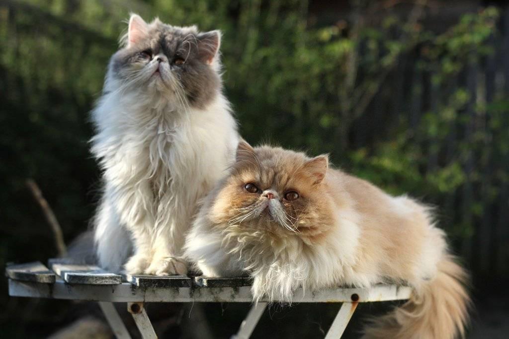 Чем кормить персидскую кошку, какой корм выбрать для персов