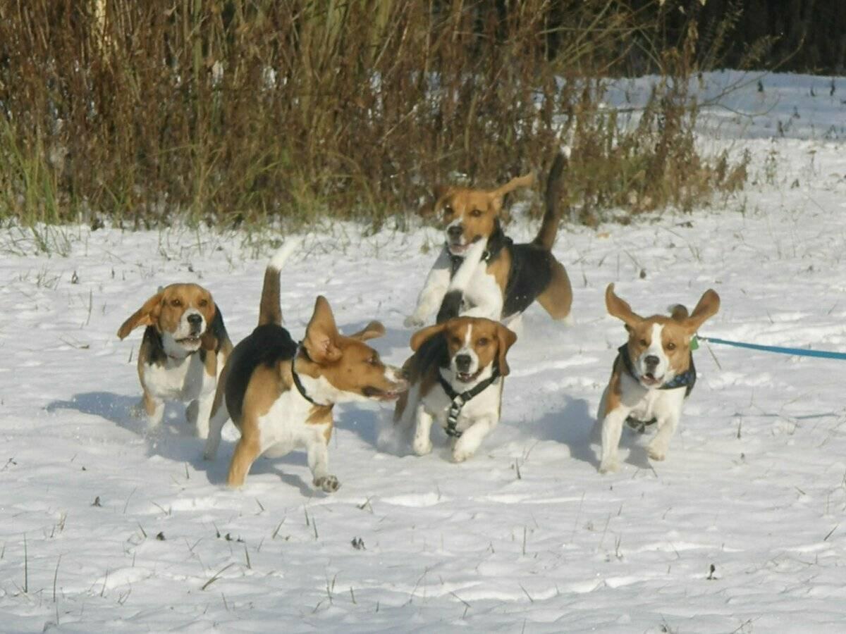 Походные собаки: лучшие компаньоны слоббери | выживание в дикой природе