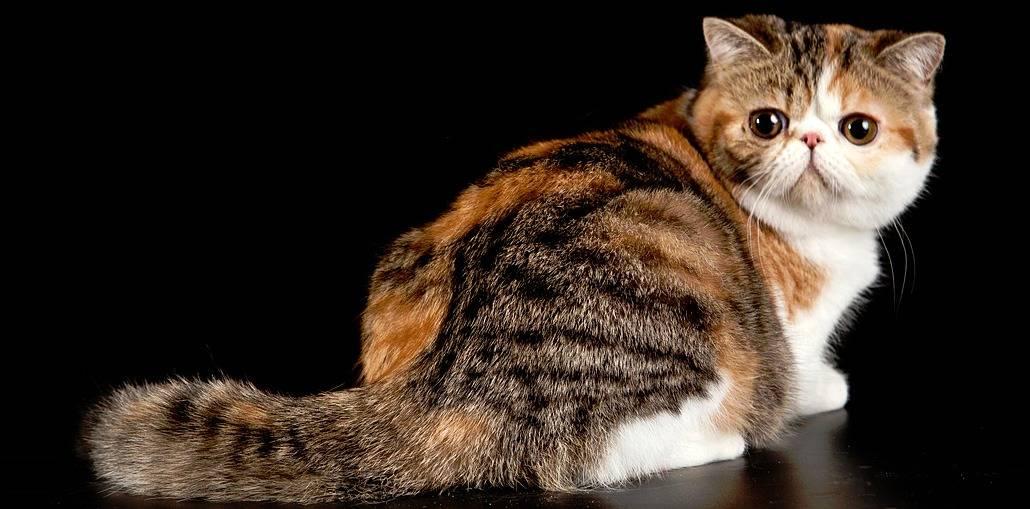 Описание породы экзотическая кошка