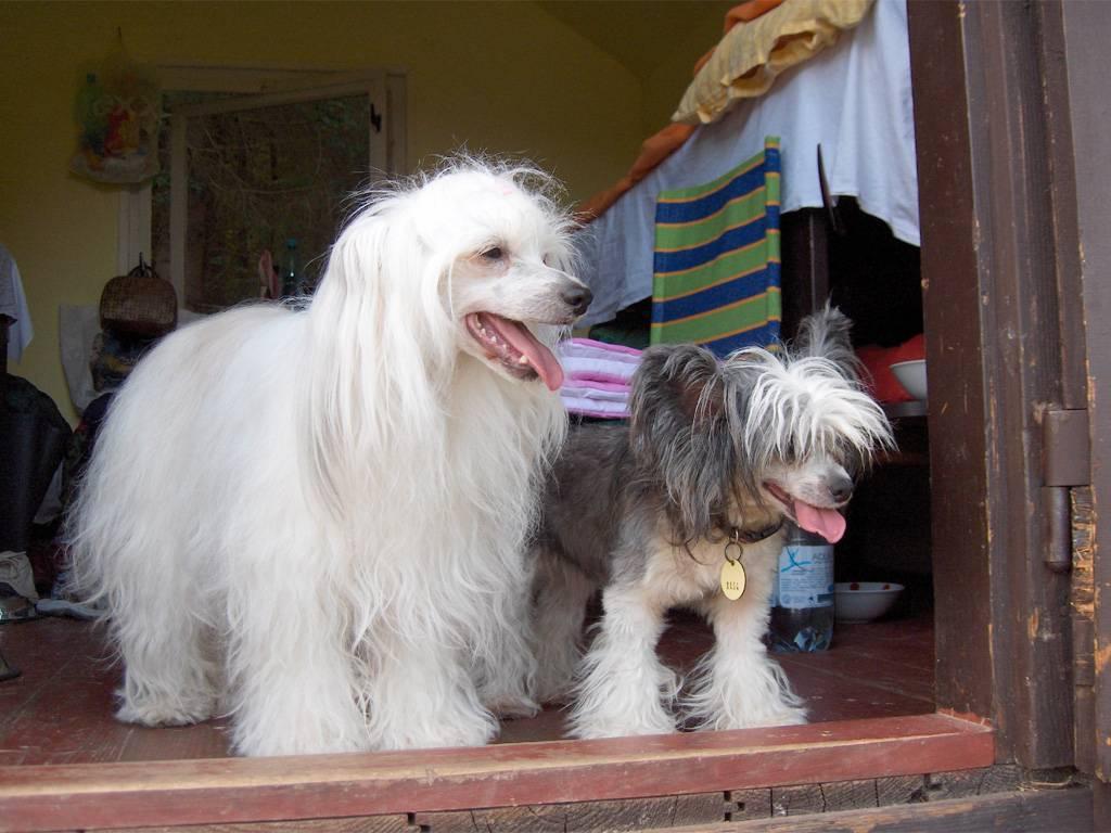 Китайская хохлатая собака: описание и тонкости содержания