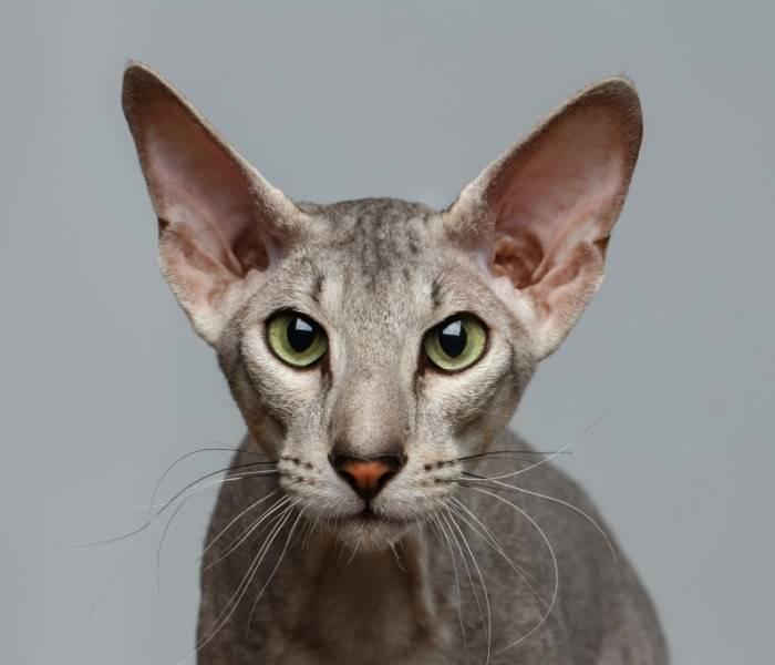 Кошка петерболд: описание породы петербургский сфинкс