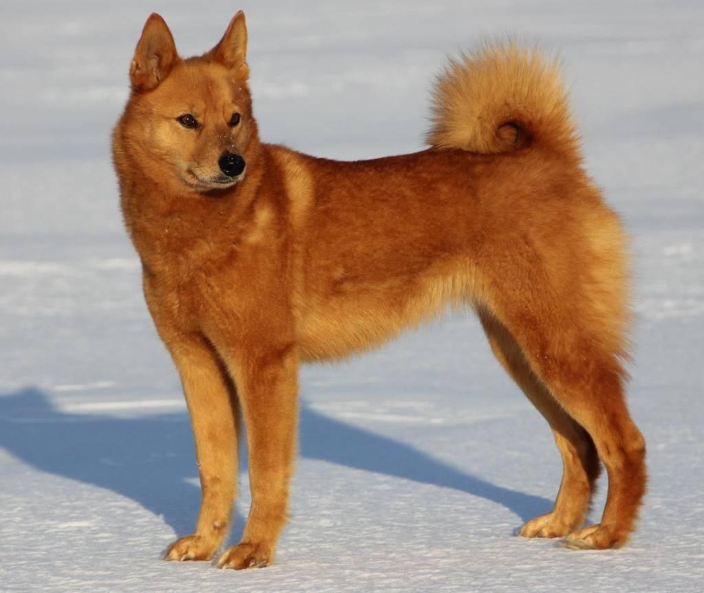 Карело-финская лайка собака. описание, особенности, уход и цена породы | sobakagav.ru