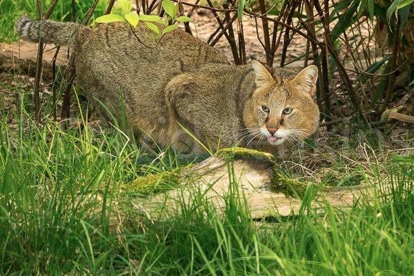 Степная кошка: характеристика вида