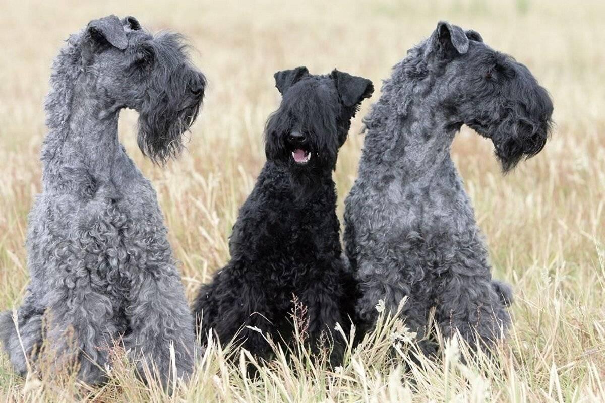 Керри-блю-терьер: фото породы собак, описание характера и основных особенностей