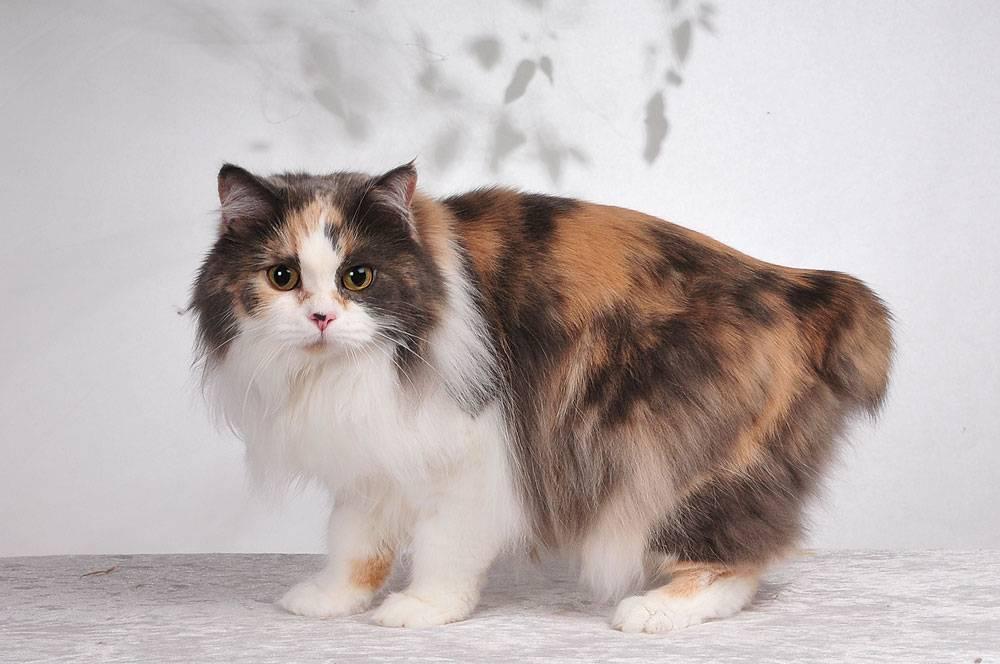 Кимрик (cеmric cat) кошка: подробное описание, фото, купить, видео, цена, содержание дома