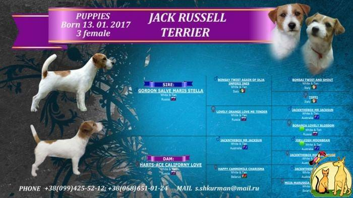 Корма для джек-рассел-терьера (12 фото): рейтинг лучших сухих и влажных кормов. как их выбрать?