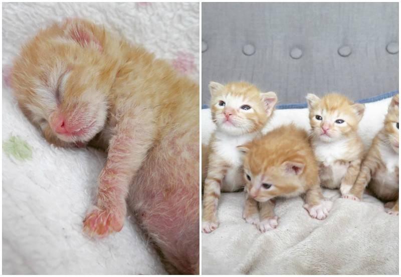 Мой опыт выхаживания новорожденных котят-сирот