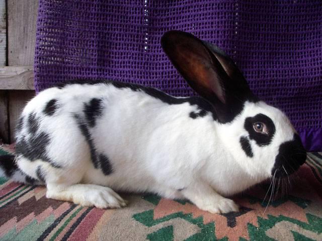 ᐉ кролик строкач описание породы - zoomanji.ru