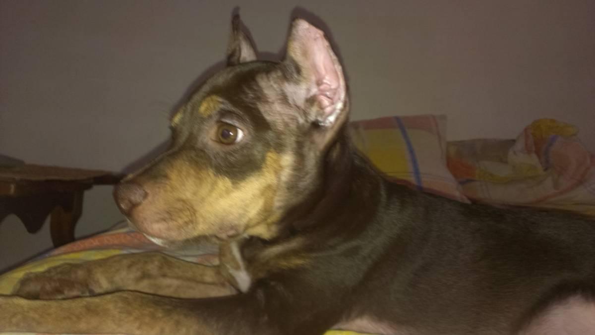 Купирование ушей и хвоста — когда проводится, зачем нужно и сколько стоит купирование для собак (125 фото и видео)