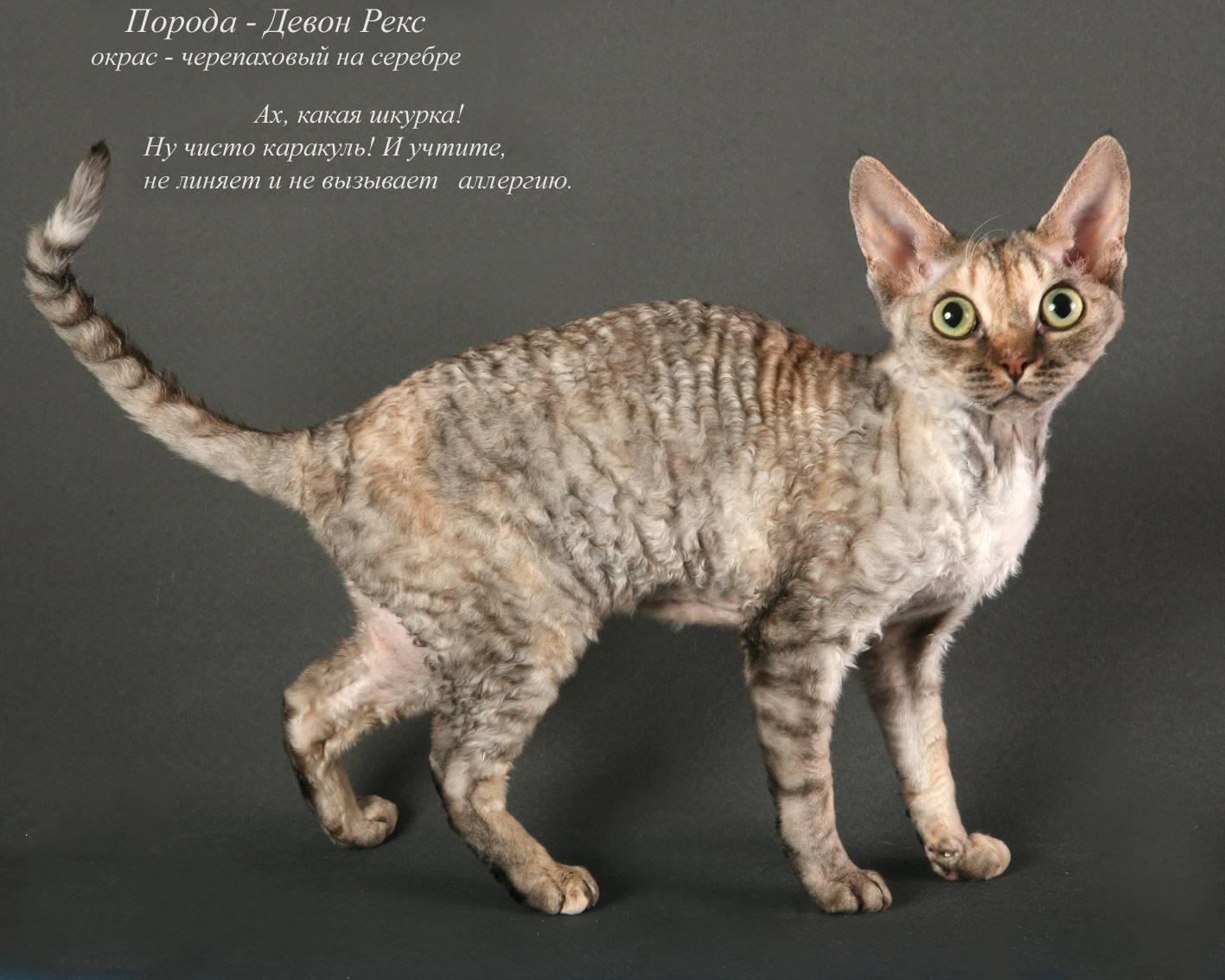 Китайская ли хуа: особенности внешнего вида породы, характера и ухода за кошкой