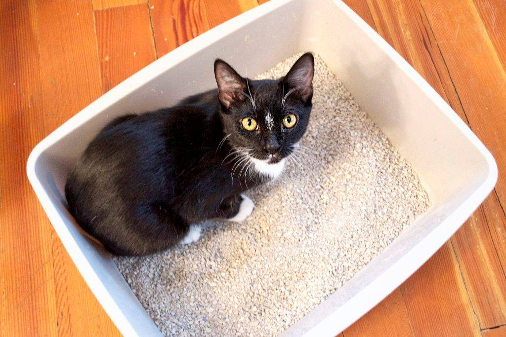 8 причин почему кошка ходит мимо лотка - что делать - kotiko.ru
