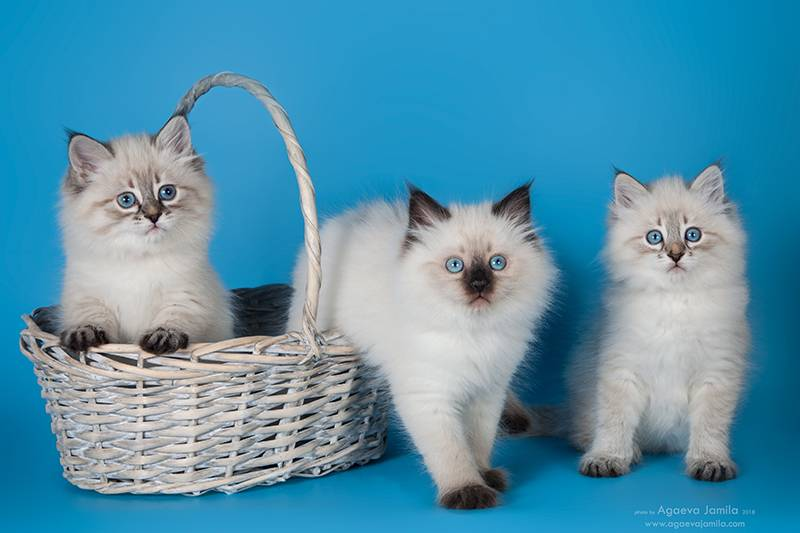 Невская маскарадная кошка: характер, достоинства и недостатки, отзывы