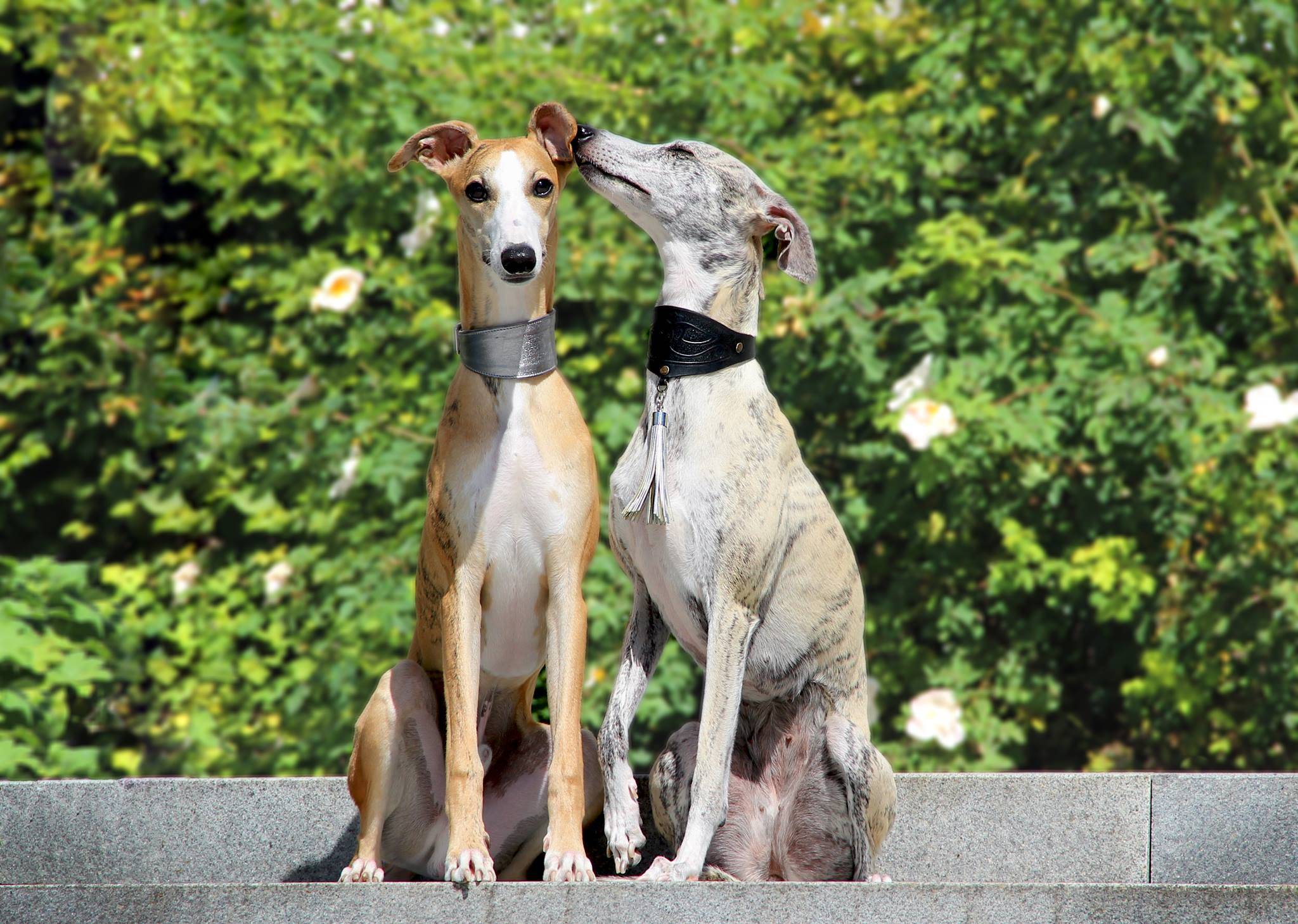 Уиппет собака. описание, особенности, уход и цена породы уиппет | sobakagav.ru