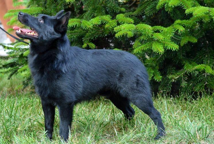 Описание породы собак шипперке с отзывами владельцев и фото