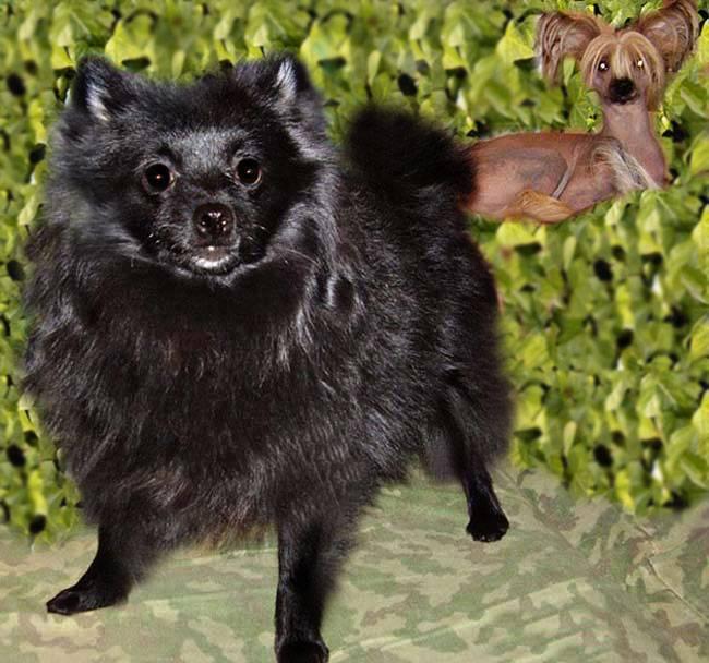 """Чихуахуа в доме - все об уходе за этой собакой   блог ветклиники """"беланта"""""""