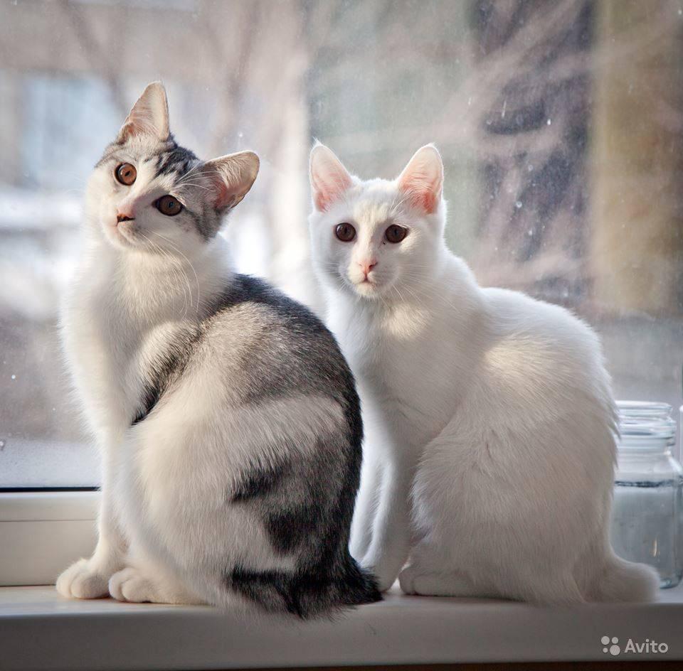Белые и голубоглазые кошки: названия пород и особенности здоровья
