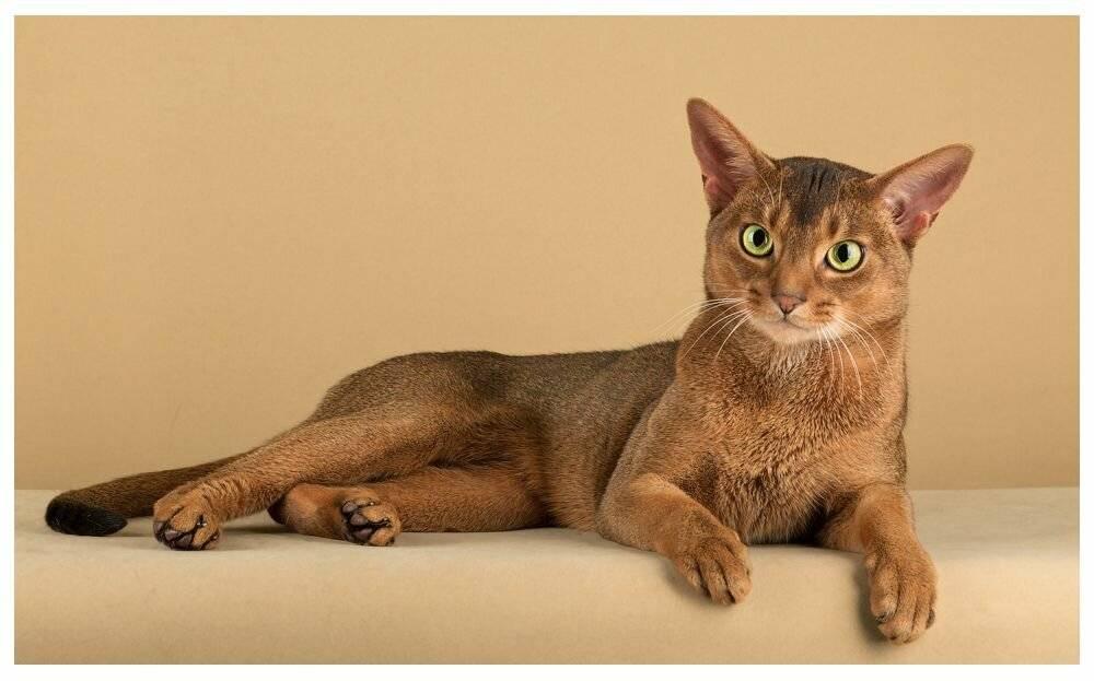 Самая дорогая порода кошек (фото): «золотые» мурлыки