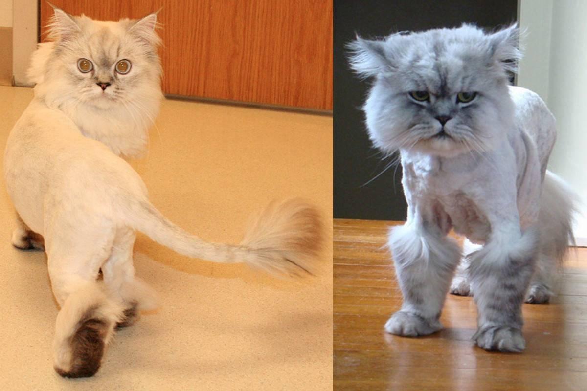 Стрижка кошек: кто делает, зачем стричь, варианты