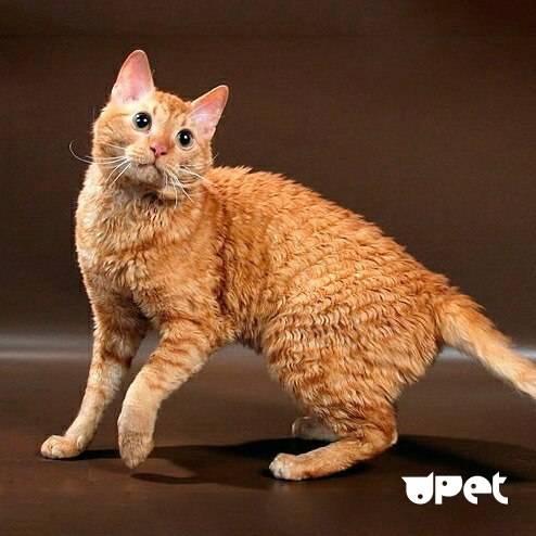 Кошка уральский рекс: описание породы, фото, характер