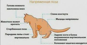 Атаксия у кошек: мозжечковая и другие, лечение в домашних условиях, симптомы, диагностика