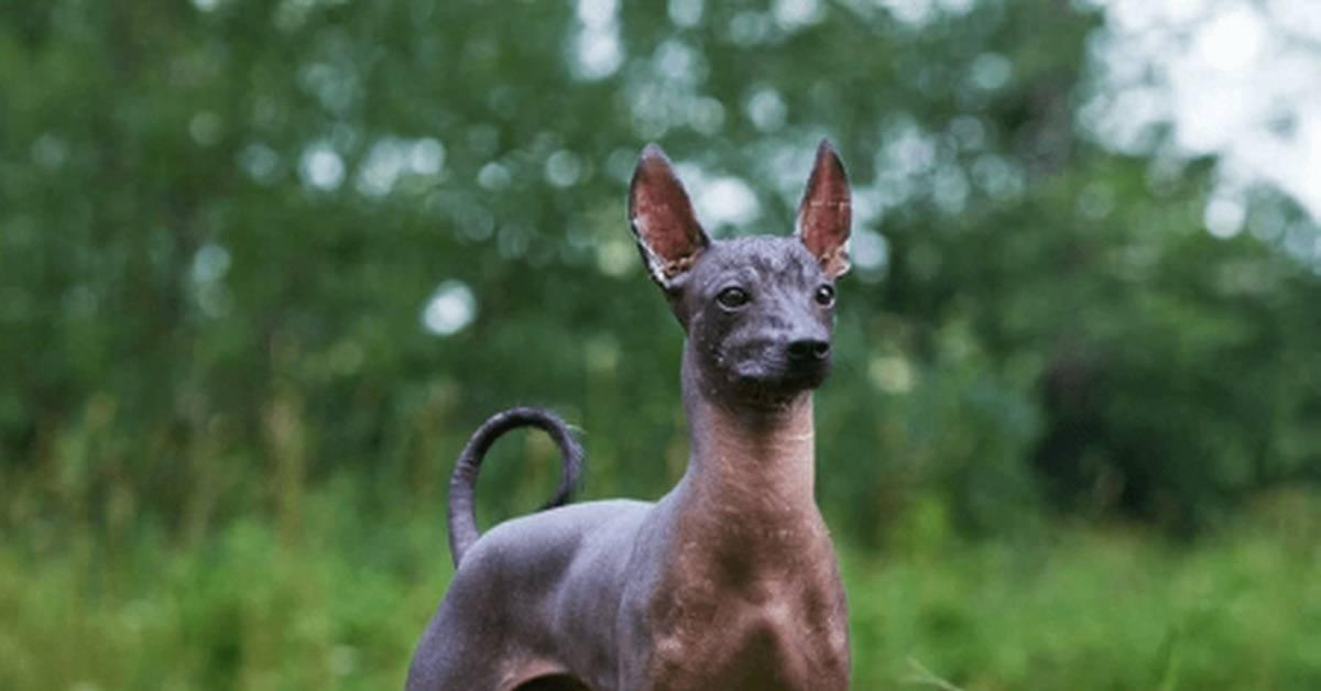 Китайская хохлатая собака: особенности и виды породы, уход, фото