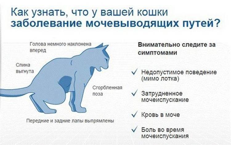 Заболевания мочеполовой системы у кошек