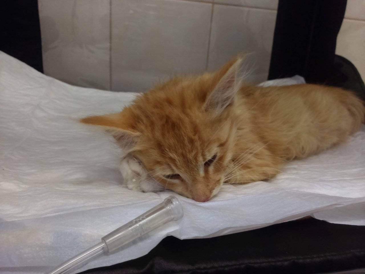 Чумка у кошек: симптомы и варианты лечения недуга
