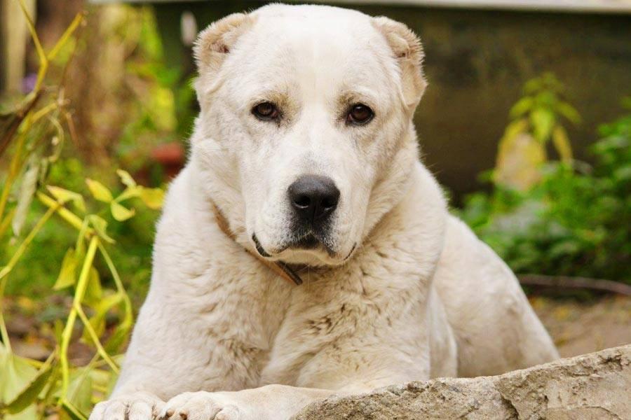 Алабай собака. описание, особенности, уход и цена алабая