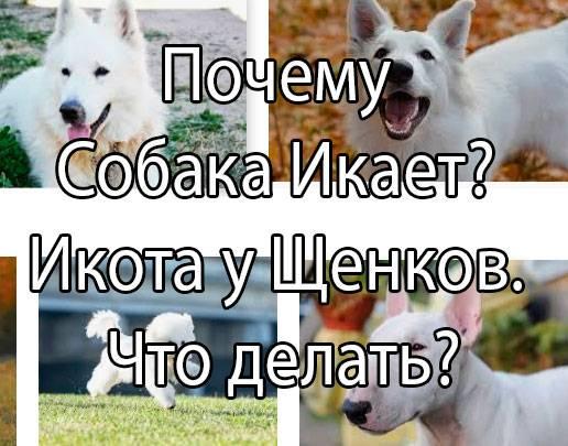 Собака чихает и фыркает: причины и методы лечения, что делать - kotiko.ru