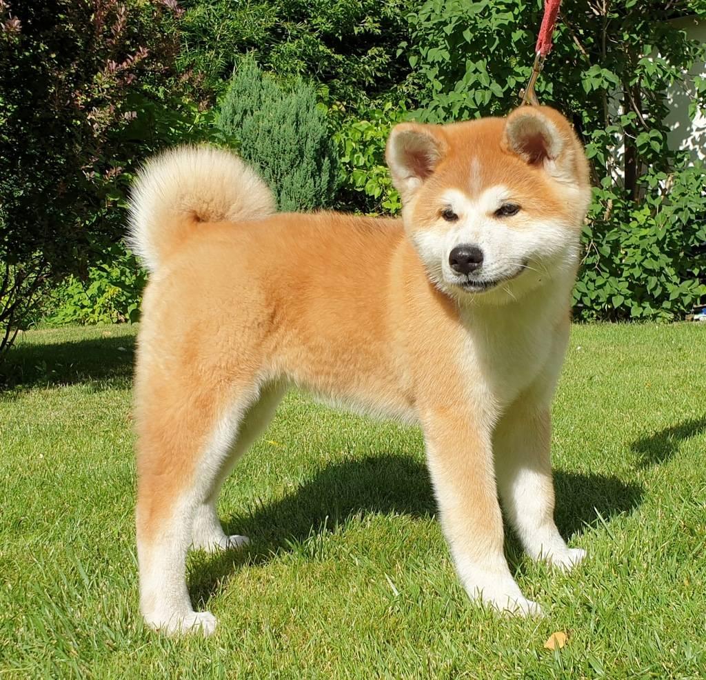 Акита-ину: фото собак, стандарт породы, какие существуют разновидности и какие встречаются окрасы + как правильно выбрать щенка?