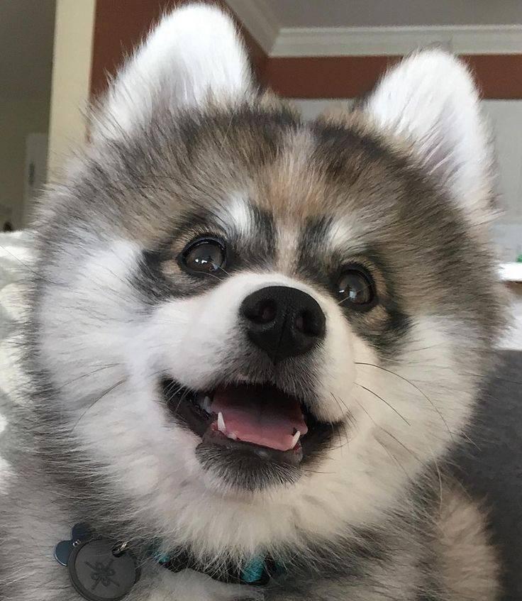 Метисы щенков хаски — особенности таких собак
