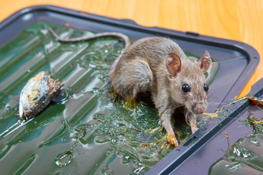 Полный список собак-крысоловок, которые будут ловить крыс и мышей в доме