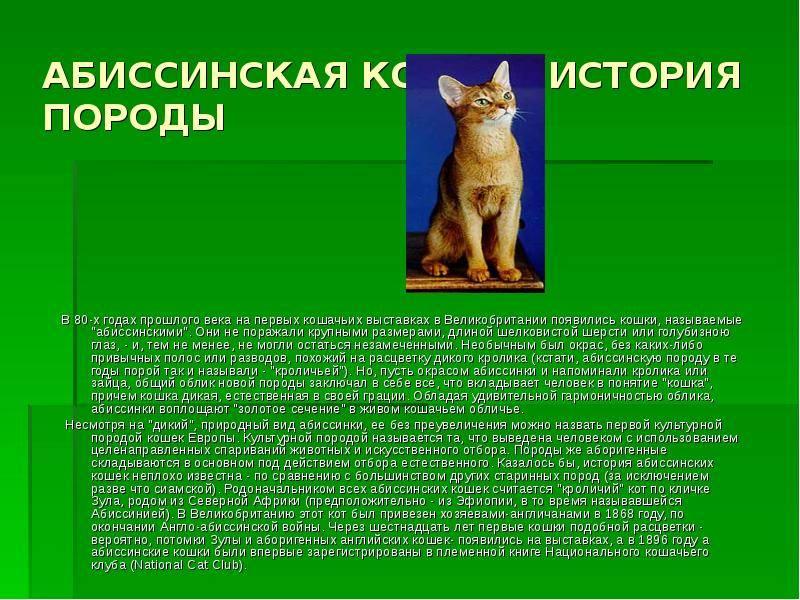 Абиссинская кошка: история породы, описание, характер, советы по содержанию и уходу, фото абиссинцев