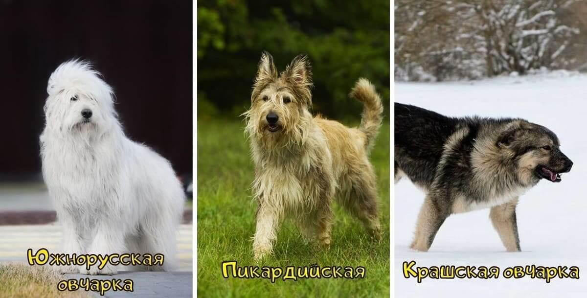 Кавказская овчарка: все о собаке, фото, описание породы, характер, цена