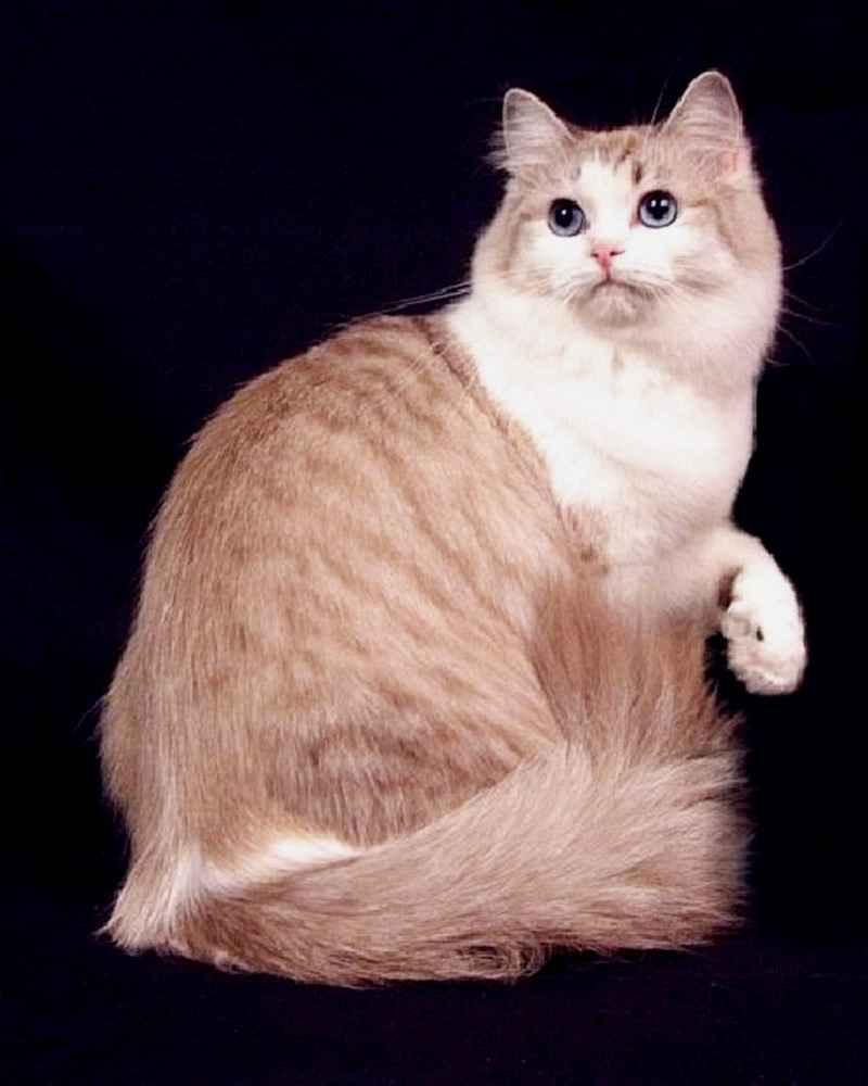 Рагамаффин (порода кошек)
